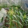 初トウモロコシ栽培  開花したよ!