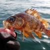 【敦賀中村旅館】「メバル釣り」と「いちご狩り」