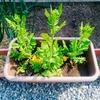 冬に種まきした水菜のとう立ちとその後の開花