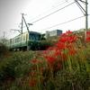 2012年版 江ノ電と彼岸花